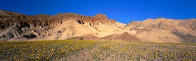Wild Flowers Grown in the Valley, Death Valley National Park, Nevada, California, USA--Photographic Print