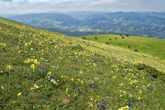 Wild flowers in bloom and horses, Mountain Acuto, Apennines, Umbria, Italy, Europe-Lorenzo Mattei-Photographic Print