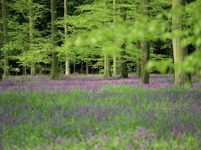 Wild Flowers in Spring, 100 Acres, Forest of Bere, Hampshire, England, United Kingdom, Europe-Legate Jane-Photographic Print
