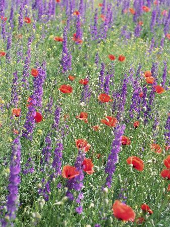 https://imgc.artprintimages.com/img/print/wild-flowers-near-goreme-cappadocia-anatolia-turkey_u-l-p1vvpc0.jpg?p=0