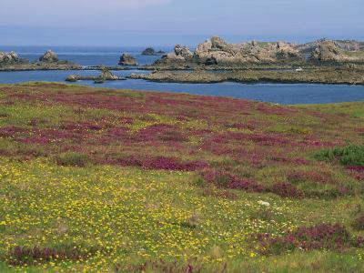 Wild Flowers on the Shore and the Rocky Coast of the Ile D'Ouessant, Finistere, Brittany, France-Miller John-Photographic Print