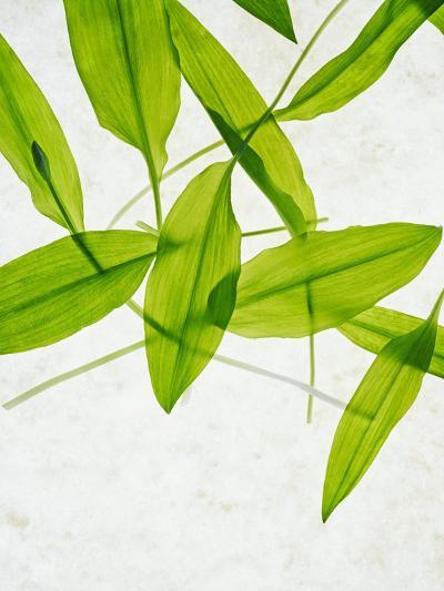 Wild Garlic, Allium Ursinum, Leaves, Green-Axel Killian-Photographic Print