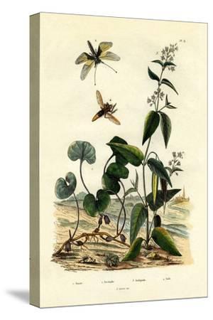 Wild Ginger, 1833-39