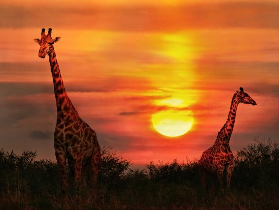 Wild Giraffes in the Savannah at Sunset-Byelikova Oksana-Photographic Print