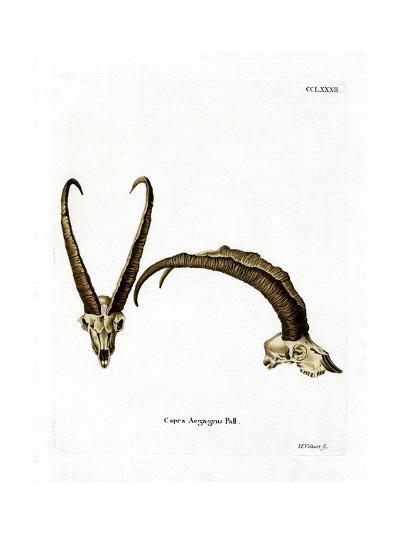 Wild Goat Horns--Giclee Print