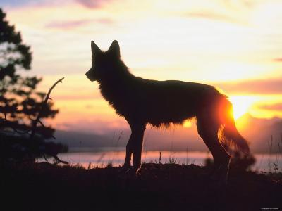 Wild Gray Wolf Standing in Nature and Silhouetted by Glowing Sunset--Photographic Print