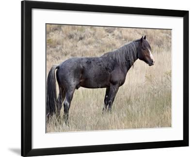 Wild Horse (Equus Caballus) Stallion, Theodore Roosevelt National Park, North Dakota, USA-James Hager-Framed Photographic Print