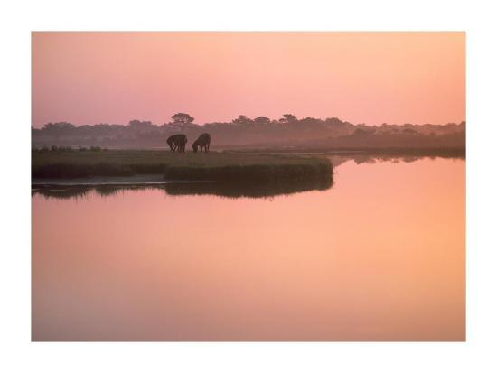Wild Horse pair grazing, Assateague Island National Seashore, Maryland-Tim Fitzharris-Art Print