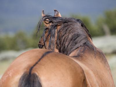 Wild Horse, Rear View of Dun Stallion, Pryor Mountains, Montana, USA-Carol Walker-Photographic Print