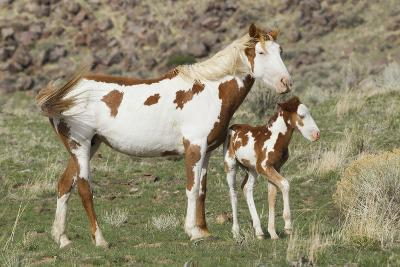 Wild Horse, Steens Mountains, Mare with Colt-Ken Archer-Photographic Print