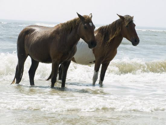 Wild Horses Bathe in the Atlantic Ocean Off the Coast of Maryland-Stacy Gold-Photographic Print