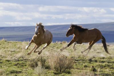 Wild Horses. Fighting Stallions, Steens Mountains, Oregon-Ken Archer-Photographic Print