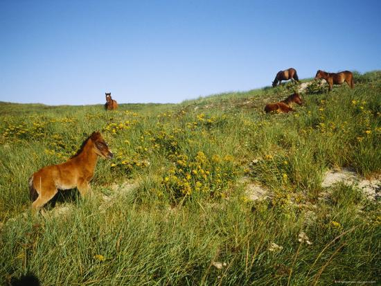 Wild Horses Graze on Beach Grass in the Dunes Near the Shore--Photographic Print