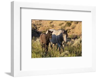 Wild horses in Theodore Roosevelt National Park, North Dakota, USA-Chuck Haney-Framed Photographic Print
