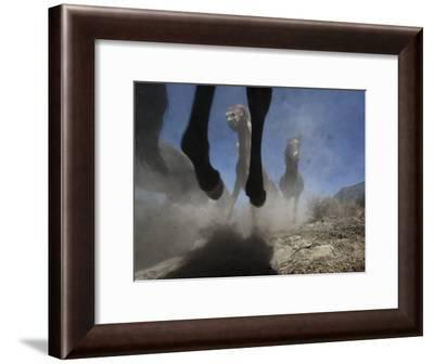 Wild Horses Kick Up Dirt as They Gallop Through the Dry Nevada Desert-Melissa Farlow-Framed Photographic Print