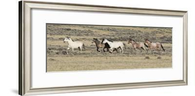 Wild Horses Mustangs, Grey Stallion Leads His Band Trotting, Divide Basin, Wyoming, USA-Carol Walker-Framed Photographic Print