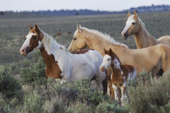 Wild horses, Mustangs-Ken Archer-Premium Photographic Print