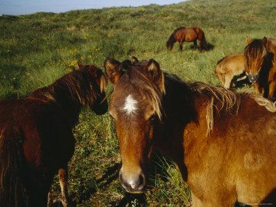 https://imgc.artprintimages.com/img/print/wild-horses-on-sable-island-originally-owned-by-acadians-who-were-forcibly-moved-from-nova-scotia_u-l-p4odsw0.jpg?p=0