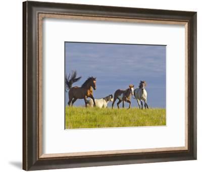 Wild Horses Running, Theodore Roosevelt National Park, North Dakota, USA-Chuck Haney-Framed Photographic Print