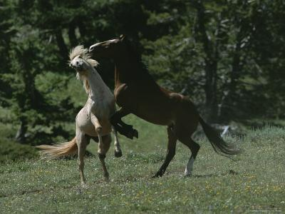 Wild Horses Spar over Territory or Mares-Chris Johns-Photographic Print