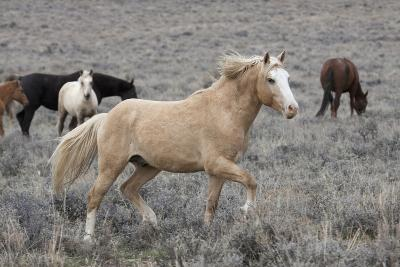 Wild Horses, Steens Mountains-Ken Archer-Photographic Print