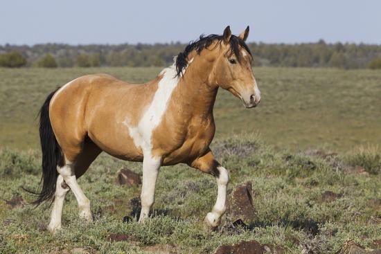 Wild Horses, Strutting Stallion-Ken Archer-Photographic Print