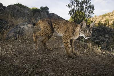Wild Iberian Lynx (Lynx Pardinus) Male, Sierra De Andújar Np, Spain, Critically Endangered-Oxford-Photographic Print