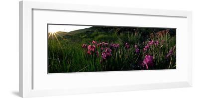 Wild Irises Grow on the Green Slopes of Mount Damavand-Babak Tafreshi-Framed Photographic Print