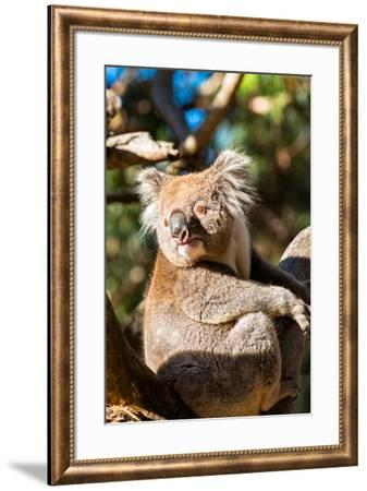 Wild Koala in the trees on Kangaroo Island. South Australia, Australia, Pacific-Andrew Michael-Framed Photographic Print