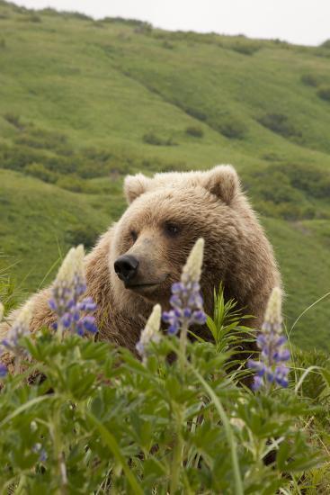 Wild Lupine Flowers Frame a Portrait of a Brown Bear-Matthias Breiter-Photographic Print