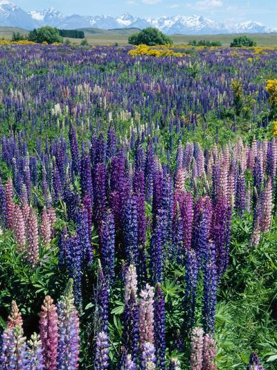 Wild Lupins, Mt. Cook National Park, New Zealand-Neale Clarke-Photographic Print