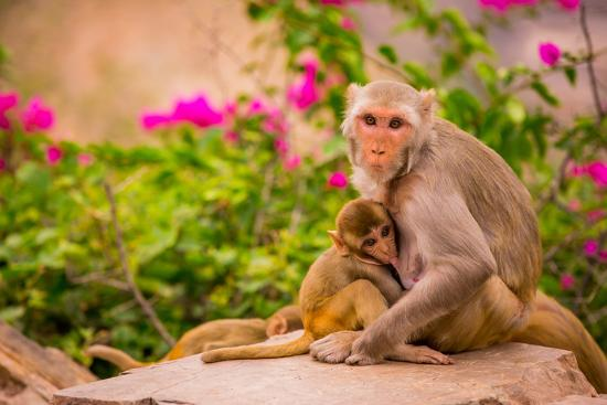 Wild Monkeys, Jaipur, Rajasthan, India, Asia-Laura Grier-Photographic Print