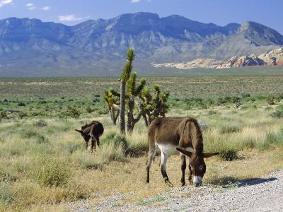 Wild Mules, the Spring Mountains, Nevada, USA-Fraser Hall-Photographic Print