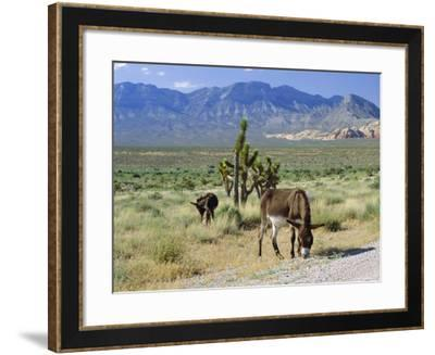 Wild Mules, the Spring Mountains, Nevada, USA-Fraser Hall-Framed Photographic Print