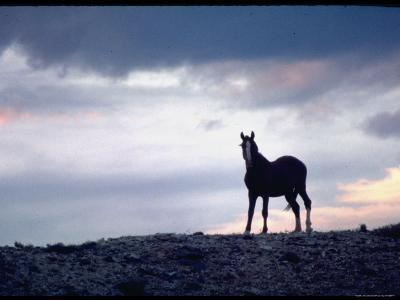 Wild Mustang Horses Running Across Field in Wyoming and Montana-Bill Eppridge-Photographic Print