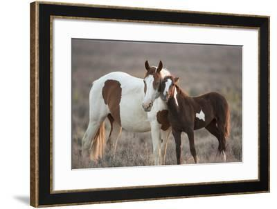 Wild Mustang Pinto Foal Nuzzling Up To Mother, Sand Wash Basin Herd Area, Colorado, USA-Carol Walker-Framed Photographic Print