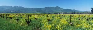 Wild Mustard in a Vineyard, Napa Valley, California, USA