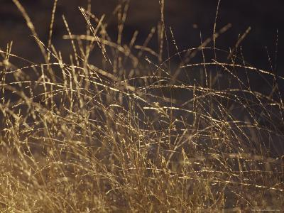 Wild Native Grasses Backlit at Dawn Appear Delicate and Fragile, Australia-Jason Edwards-Photographic Print