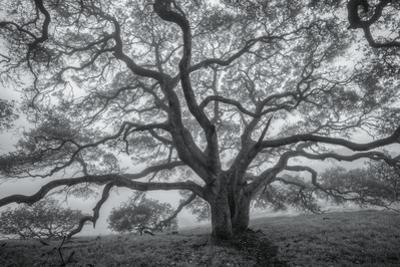 Wild Oak Tree in Black and White, Petaluma, California
