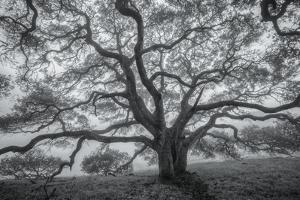 Wild Oak Tree in Black and White, Petaluma, California