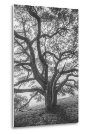 Wild Oak Tree in Black and White Portait, Petaluma, California