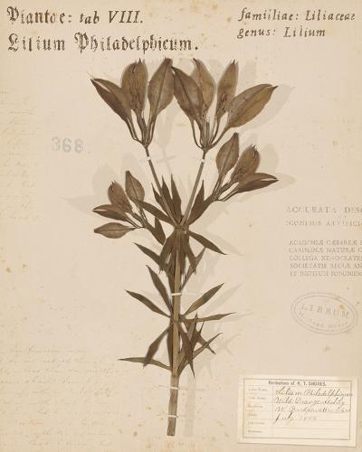 Wild Orange Lily-H. T. Shores-Giclee Print