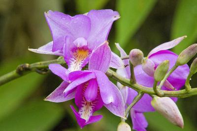 Wild Orchid, Cloud Forest, Upper Madre De Dios River, Peru-Howie Garber-Photographic Print