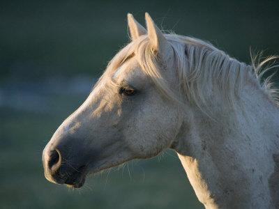 https://imgc.artprintimages.com/img/print/wild-palomino-stallion-head-profile-pryor-mountains-montana-usa_u-l-q10o38p0.jpg?p=0