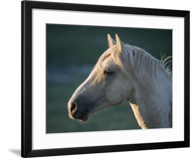 Wild Palomino Stallion, Head Profile, Pryor Mountains, Montana, USA-Carol Walker-Framed Photographic Print