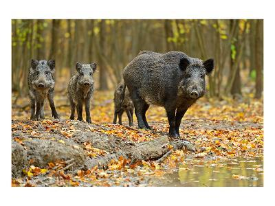Wild Pig in the Autumn Forest--Art Print
