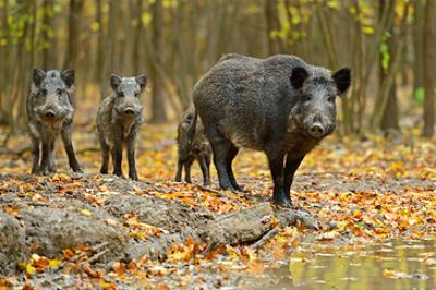 Wild Pig in the Autumn Forest