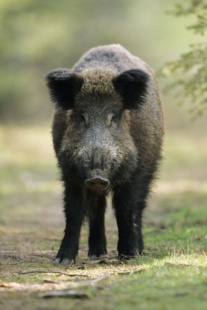 https://imgc.artprintimages.com/img/print/wild-pig-sow-alert-on-forest-track_u-l-q105wzy0.jpg?p=0