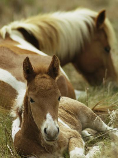 Wild Pony and Foal at Rest in a Grassy Plain-James L^ Stanfield-Photographic Print