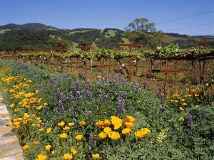Wild Poppies and Lupine Flowers in a Vineyard, Kenwood Vineyards, Kenwood, Sonoma County